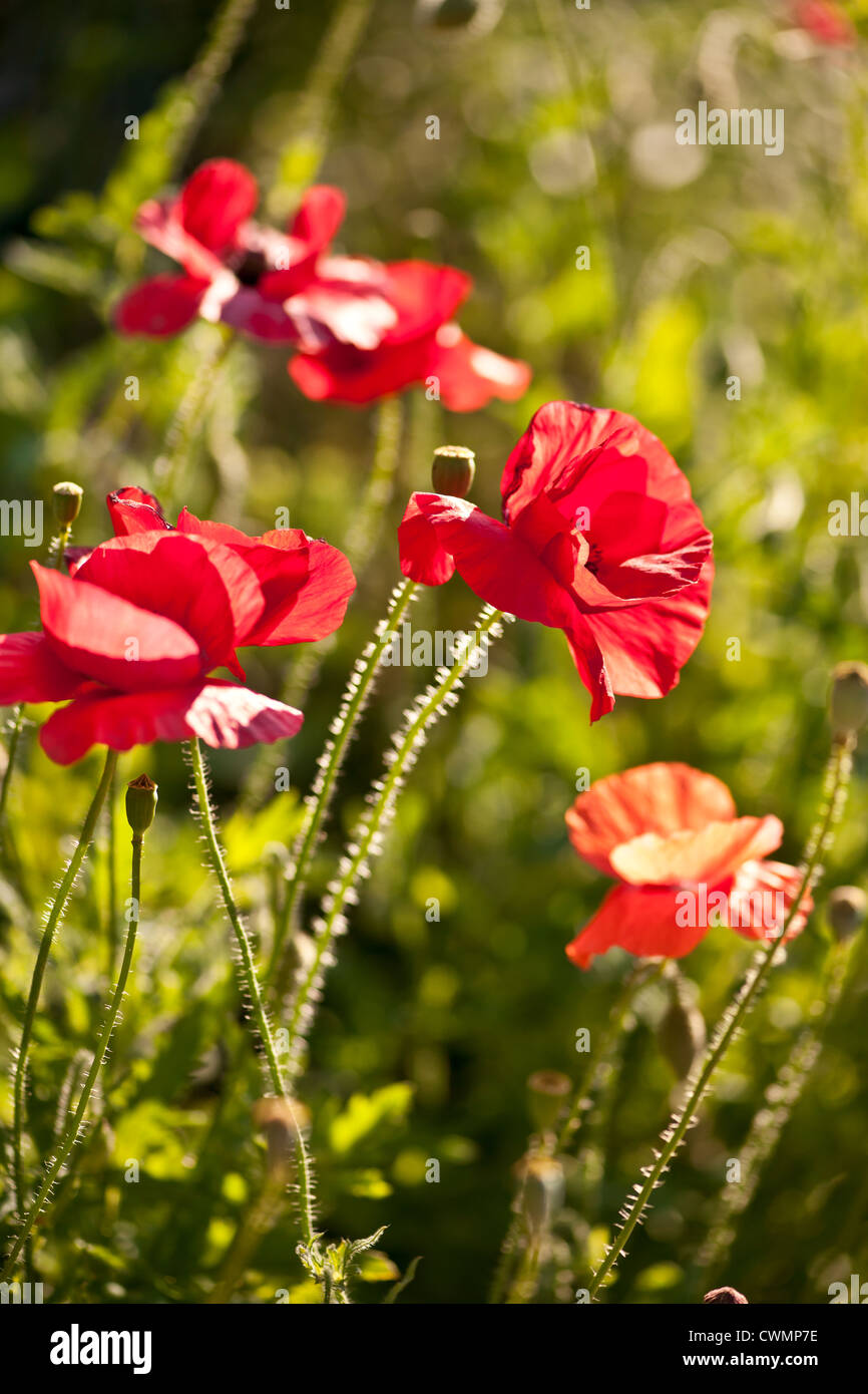 Red Poppy Flowers Growing In Sunny Garden Stock Photo 50243634 Alamy