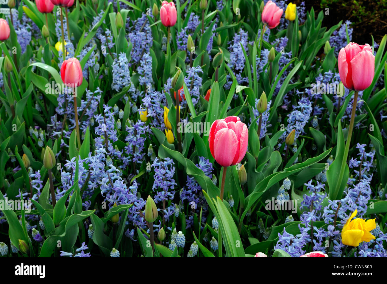 Mixed bed border spring blooming bulbs yellow blue pink color colour ...