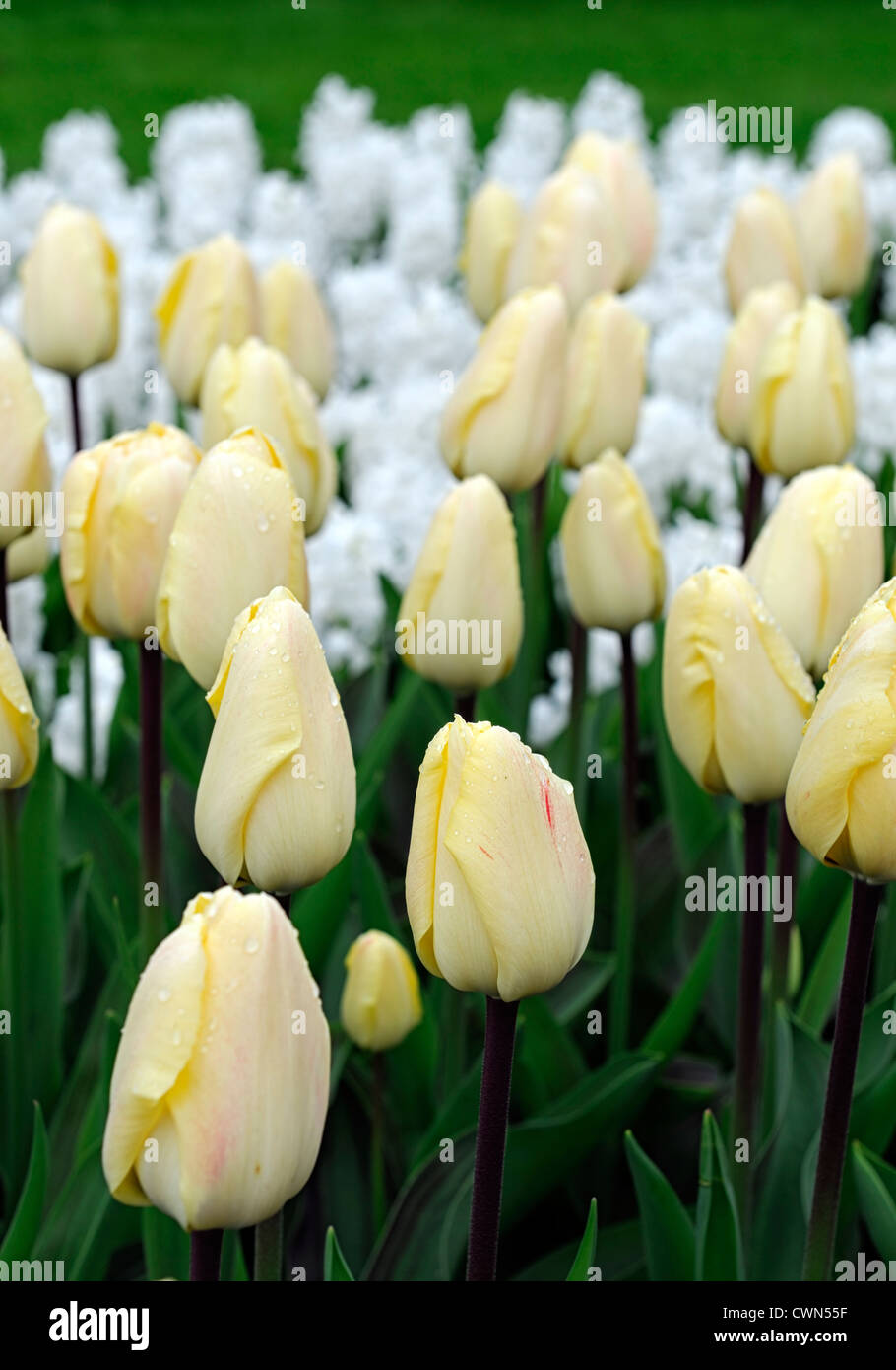 Tulipa vanilla cream greigii pale yellow tulip garden flowers spring ...