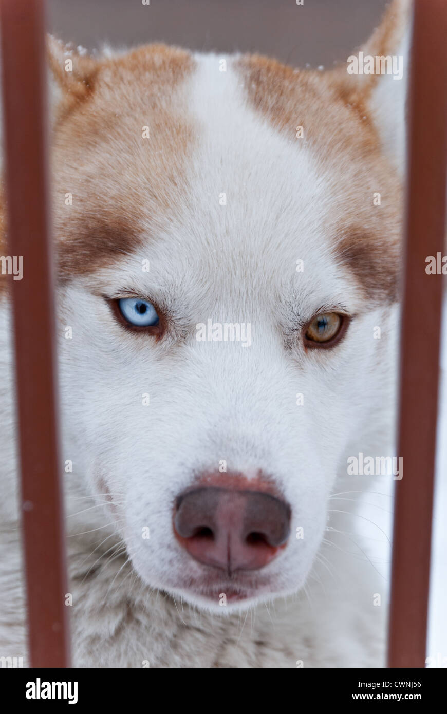 A Photograph Of Red White Colored Siberian Husky With Heterochromia