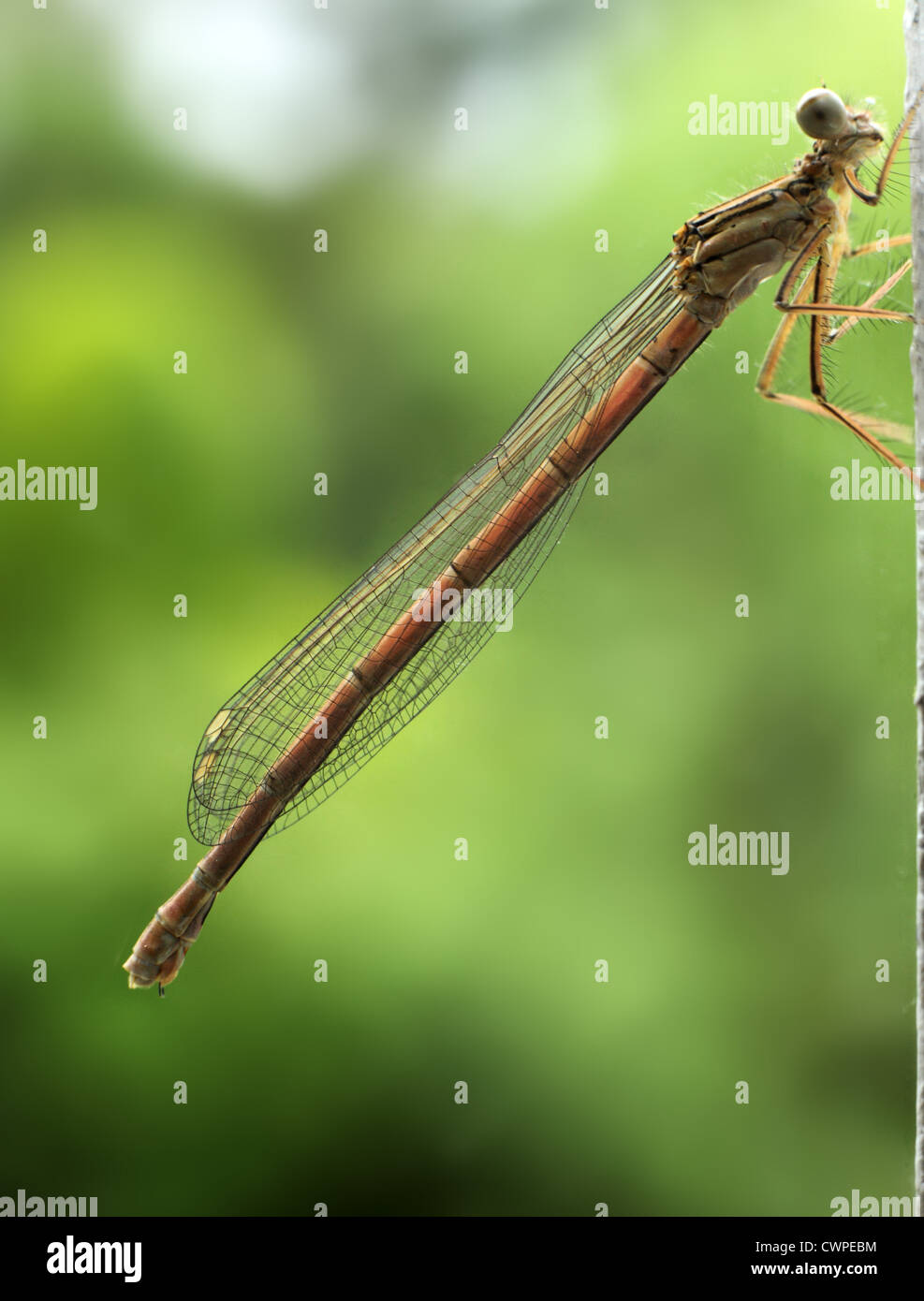 A mayfly with wings folded clings onto a door frame. - Stock Image