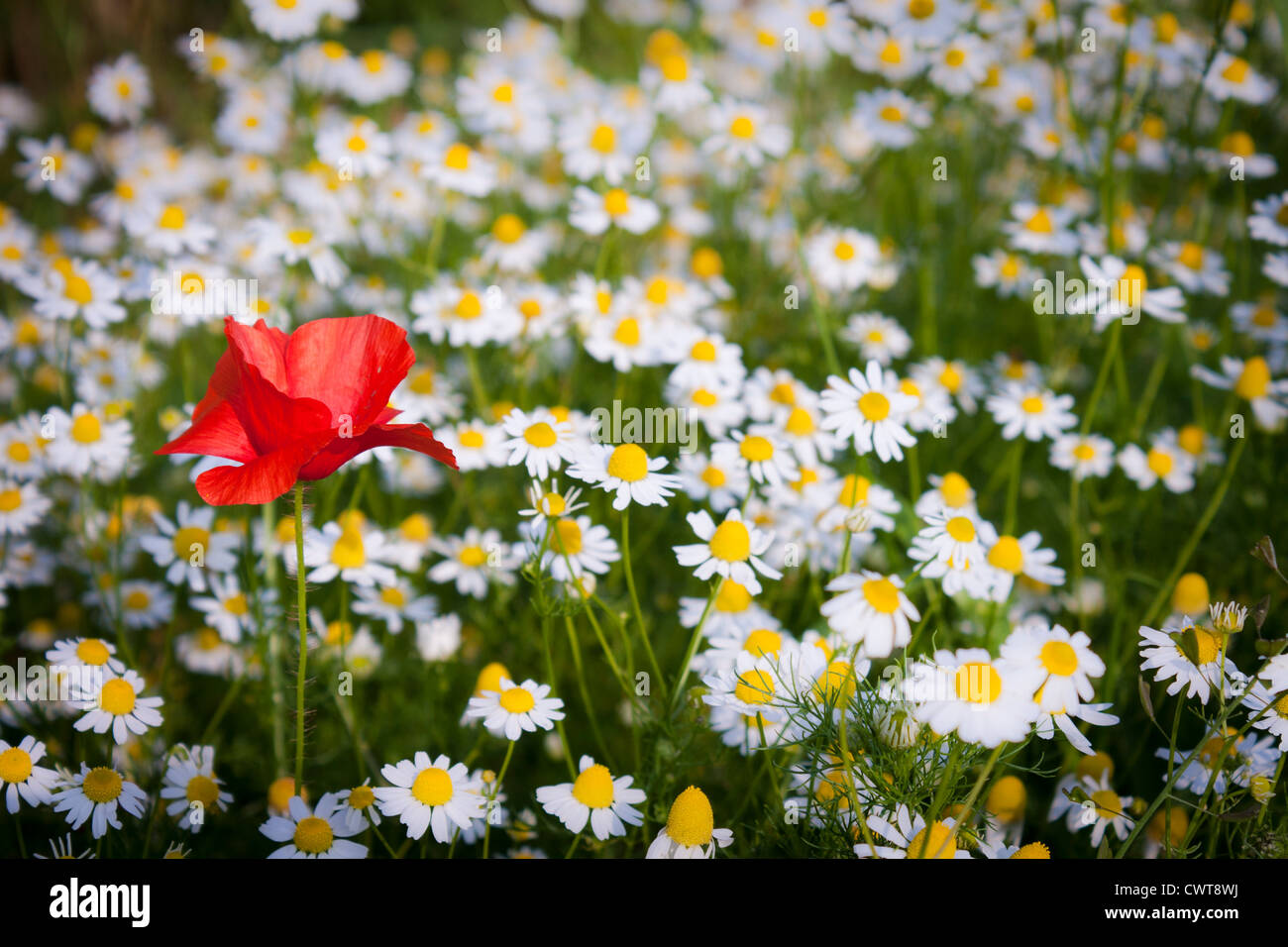 Poppy, Papaver rhoeas in a field of daisies, Bellis perennis Stock Photo