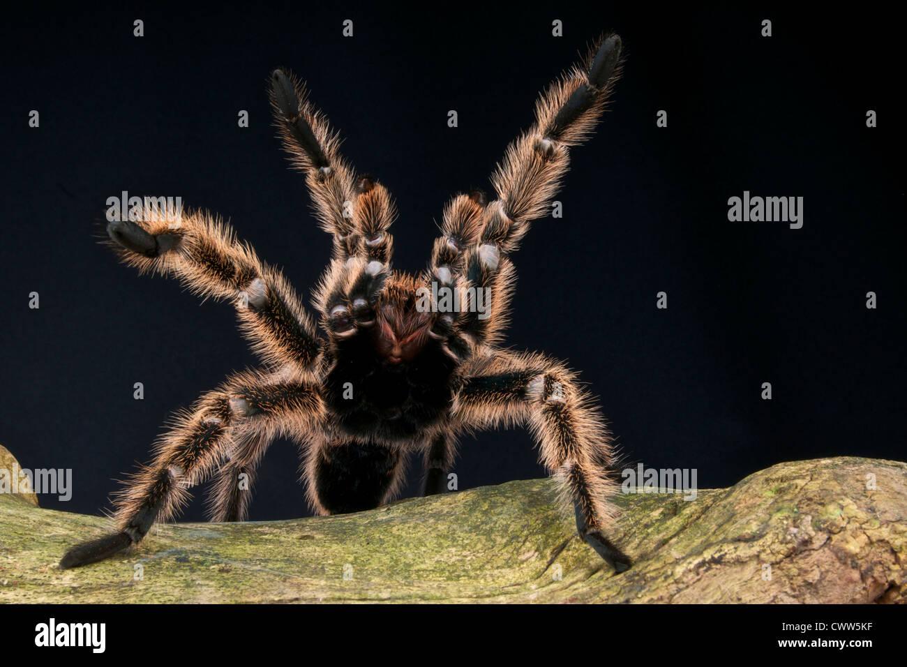 Tarantula attacking / Avicularia urticans Stock Photo
