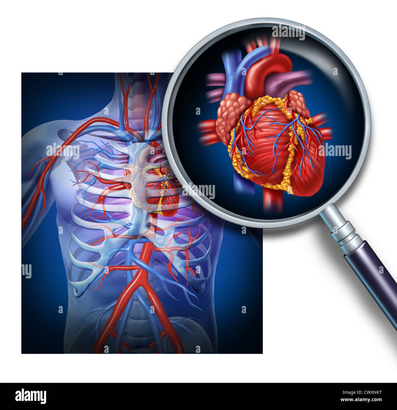 Anatomy Of The Human Heart As A Focus And Magnification Of The Stock