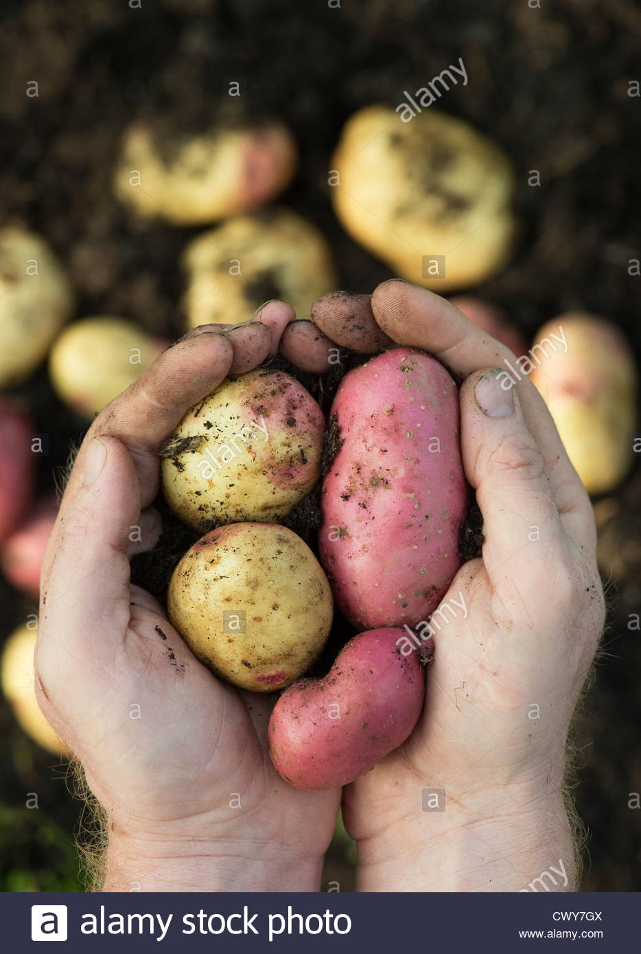 Gardeners hands holding harvested King Edward and Desiree potatoes - Stock Image