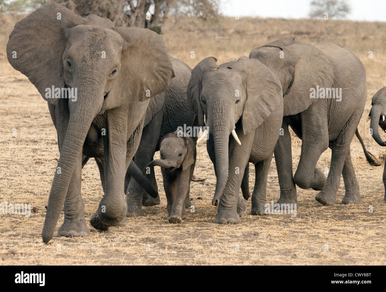 family-of-african-elephants-loxodonta-africana-selous-game-reserve-CWY8BT.jpg