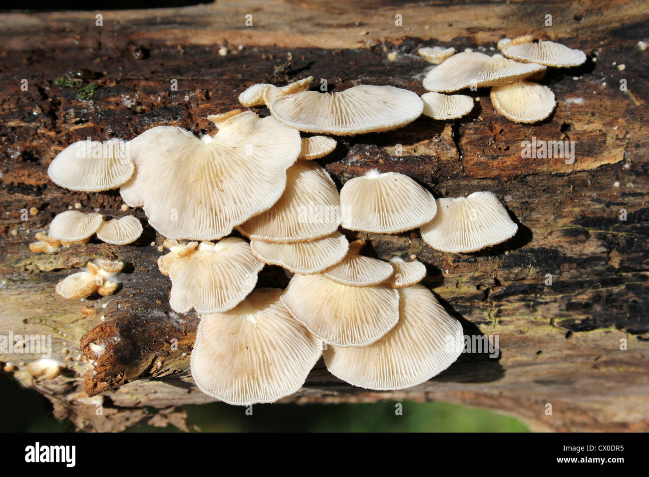 Bitter Oysterling Panellus stipticus - Stock Image