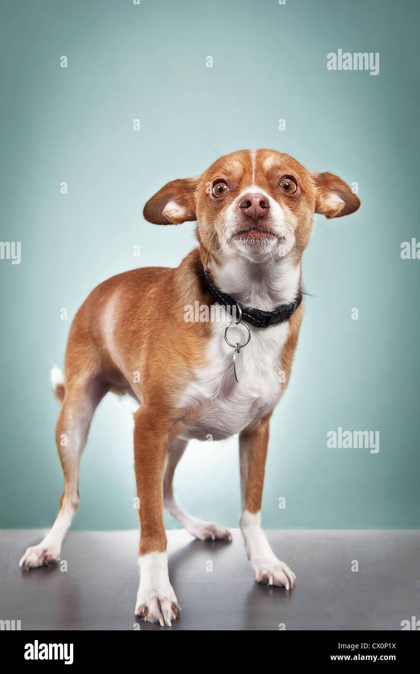 Studio portrait of chihuahua - Stock Image