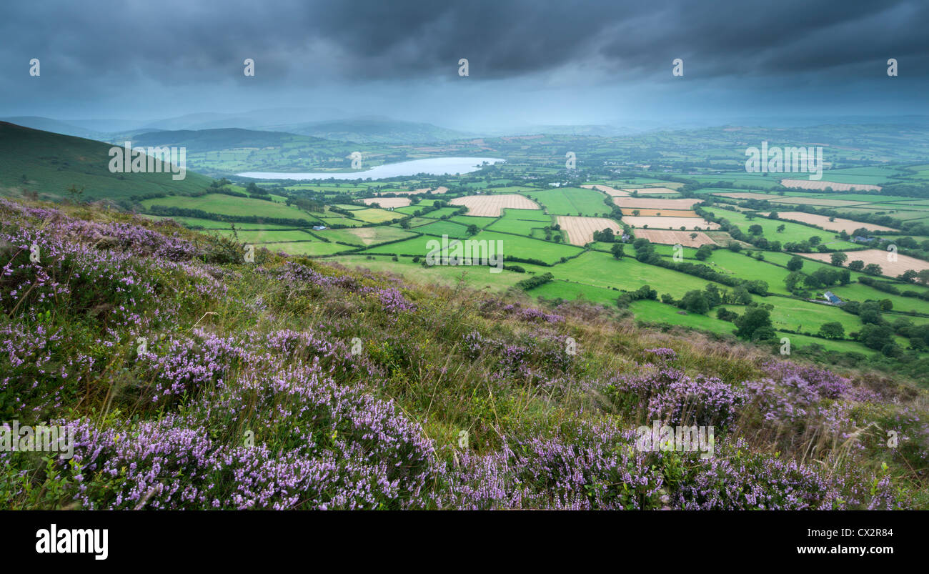 Flowering heather on Mynydd Llangorse mountain, with views towards Llangorse Lake and Pen y Fan, Brecon Beacons - Stock Image