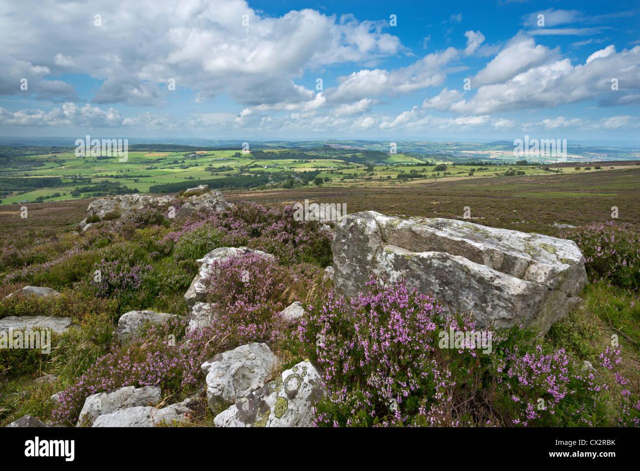 Flowering heather on the Stiperstones ridge, Shropshire, England. Summer (August) 2012. - Stock Image