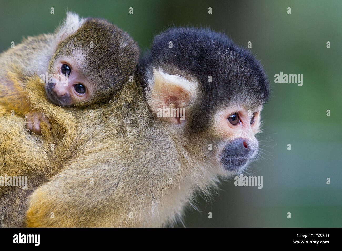 Female Bolivian squirrel monkey (Saimiri boliviensis) carrying young on her back. - Stock Image