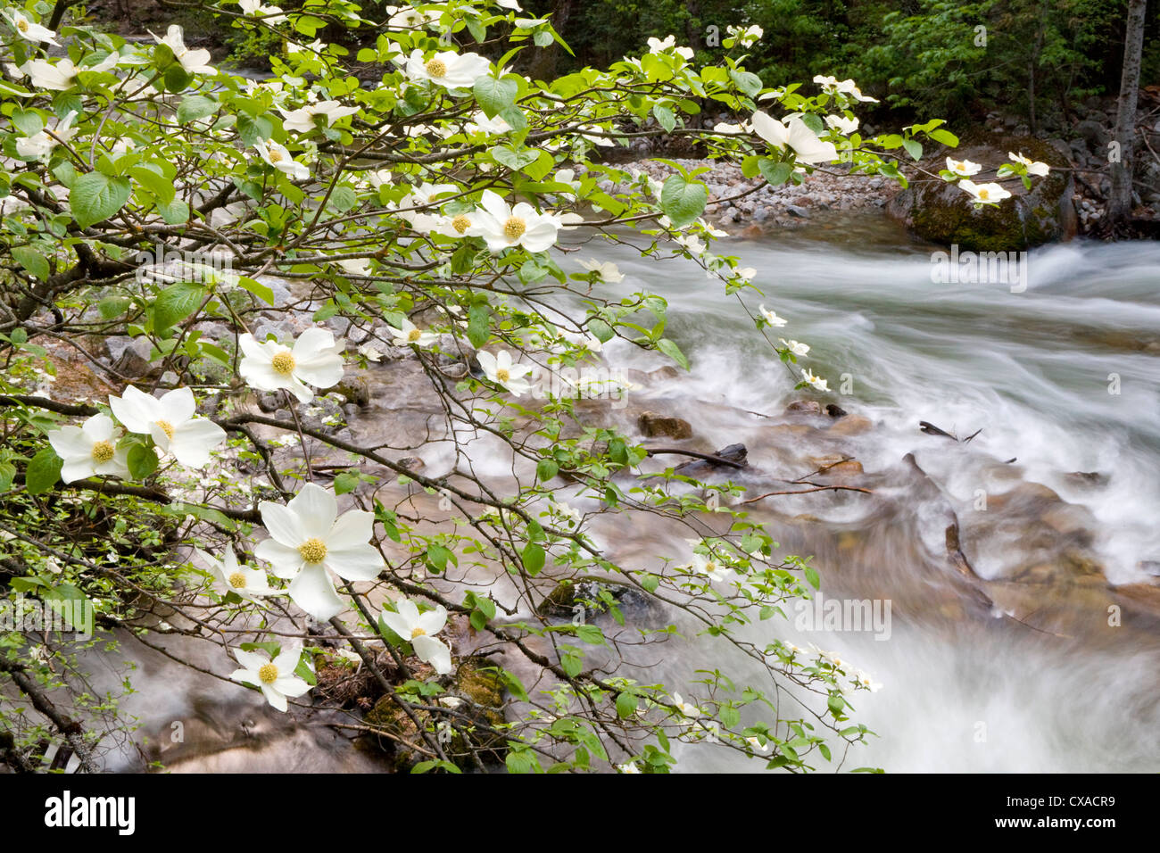 Dogwood Tree Stock Photos & Dogwood Tree Stock Images - Alamy