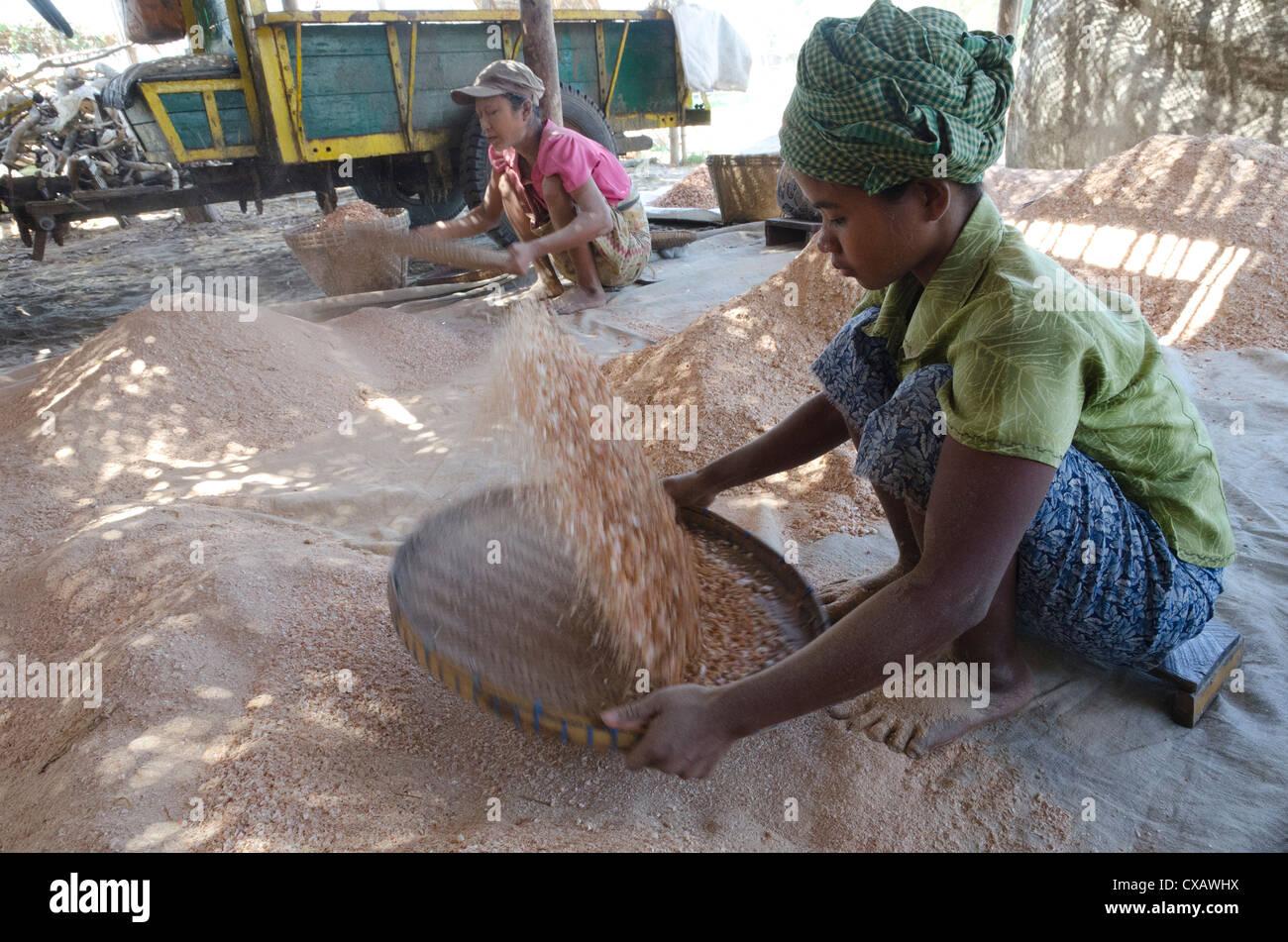 Production of shrimp powder in a fish farm, Irrawaddy Delta, Myanmar (Burma), Asia - Stock Image