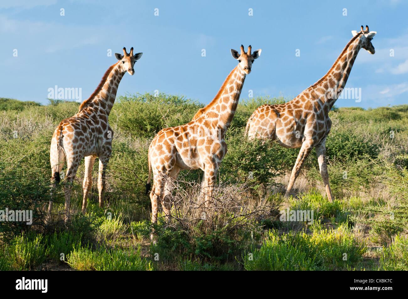 Giraffe (Giraffa camelopardalis), Namibia, Africa - Stock Image