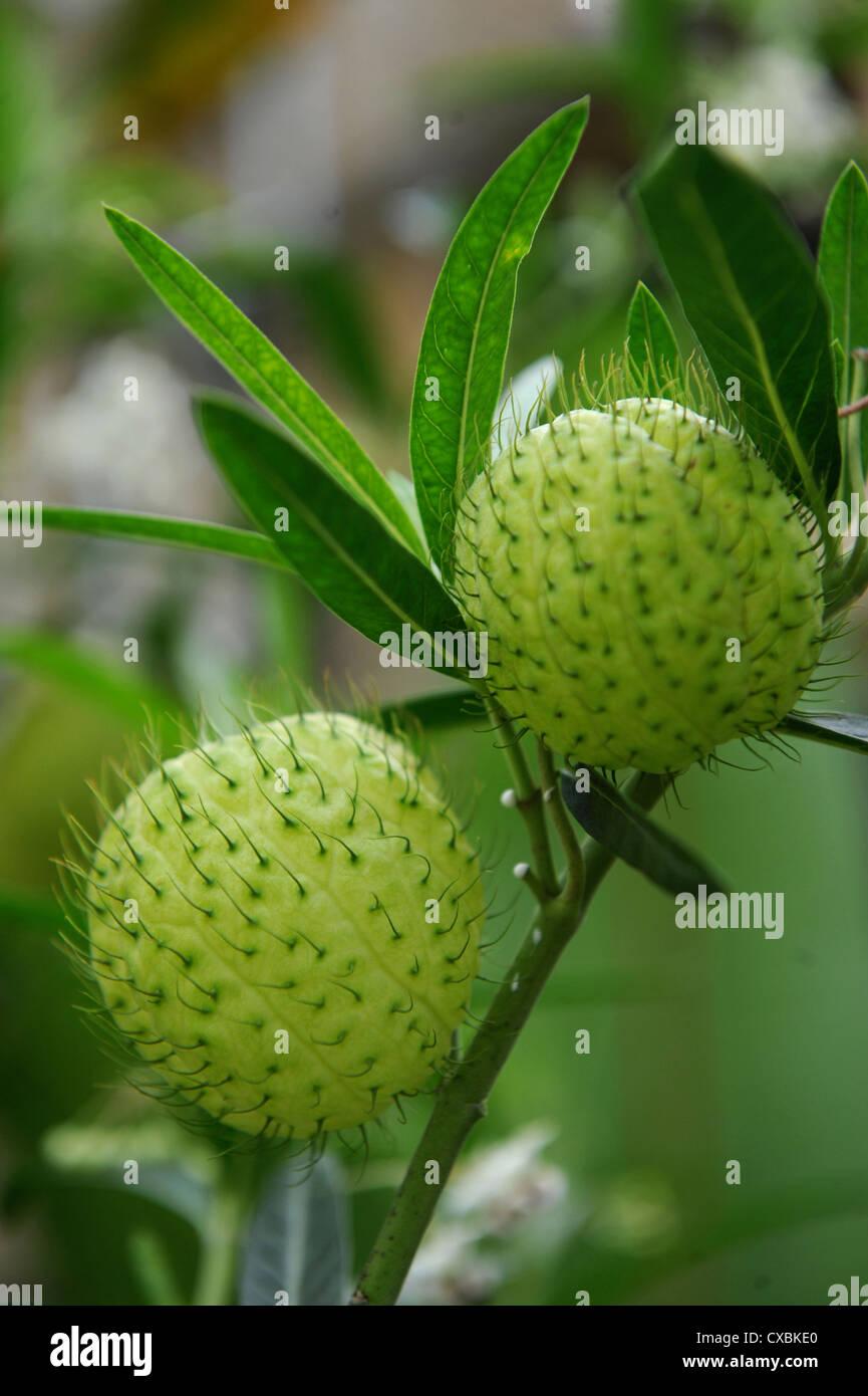 the unusual exotic plant gomphocarpus fruticosus or 'hairy balls