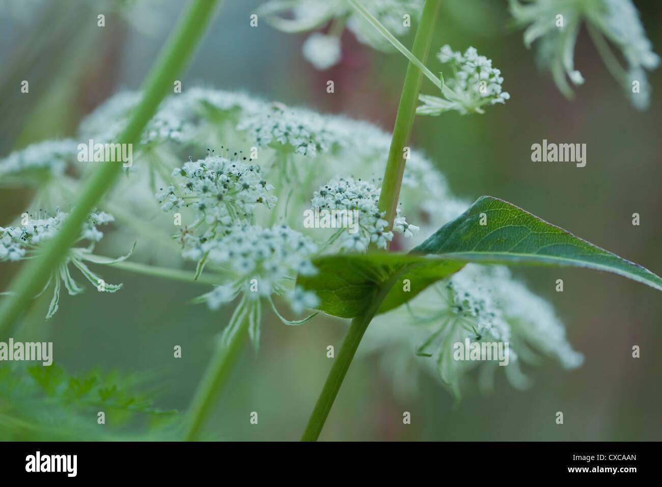 Selinum wallichianum umbellifer flowers resting against single stem, Persicara amplexicaulis 'Rosea', September, - Stock Image