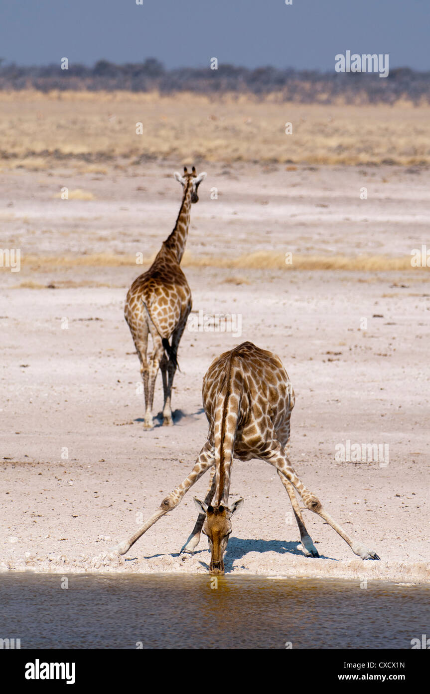 Giraffe (Giraffa camelopardalis), Etosha National Park, Namibia, Africa - Stock Image