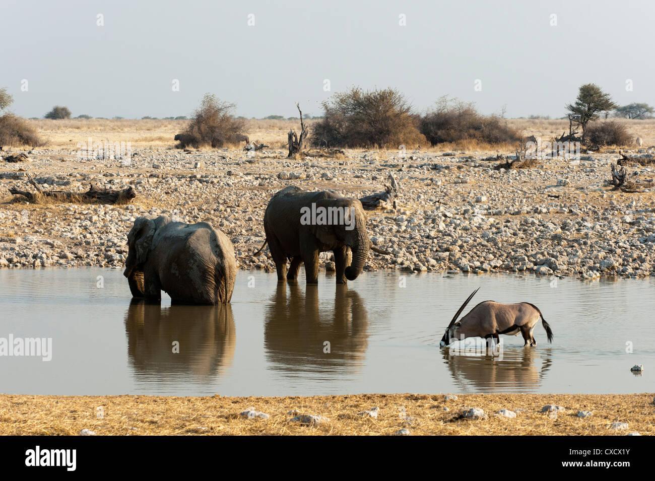 African elephant (Loxodonta africana), Etosha National Park, Namibia, Africa - Stock Image