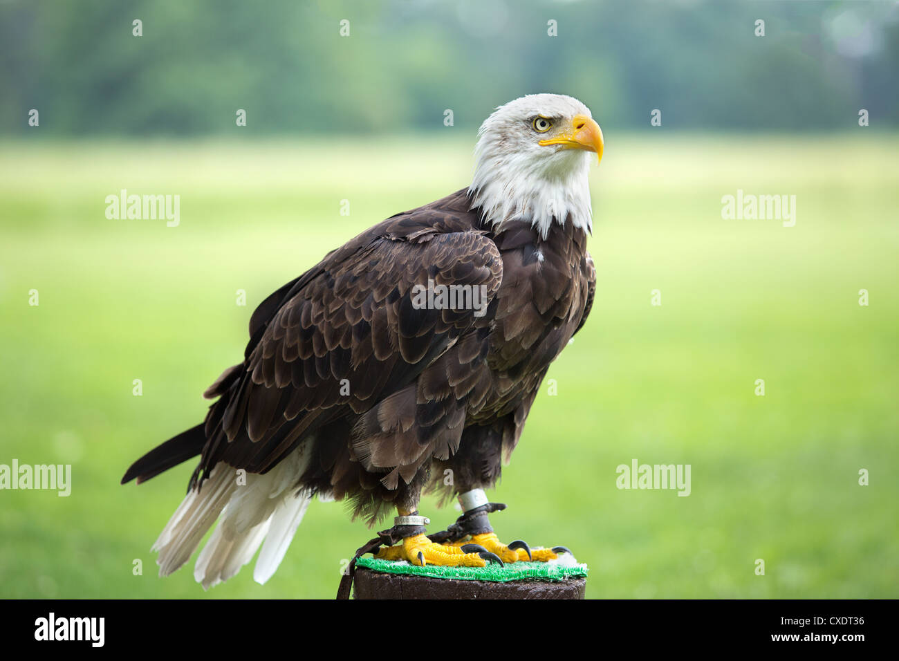 an american bald eagle perched on perch stock photo 50706074 alamy