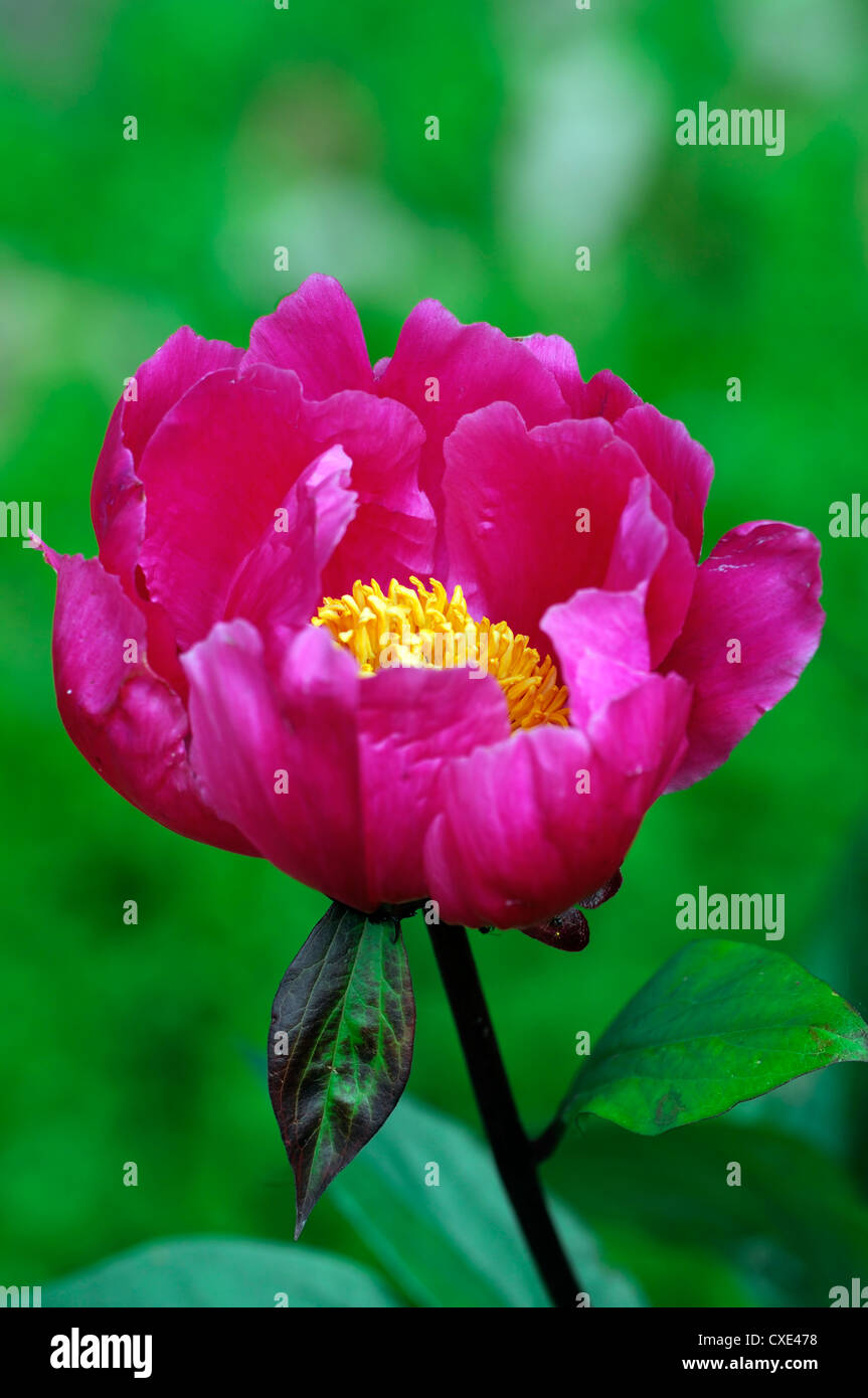 Pink flowers yellow center stock photos pink flowers yellow center paeonia reevesiana lactiflora pink flower flowers yellow center peony peonies single one selective focus closeup mightylinksfo Image collections