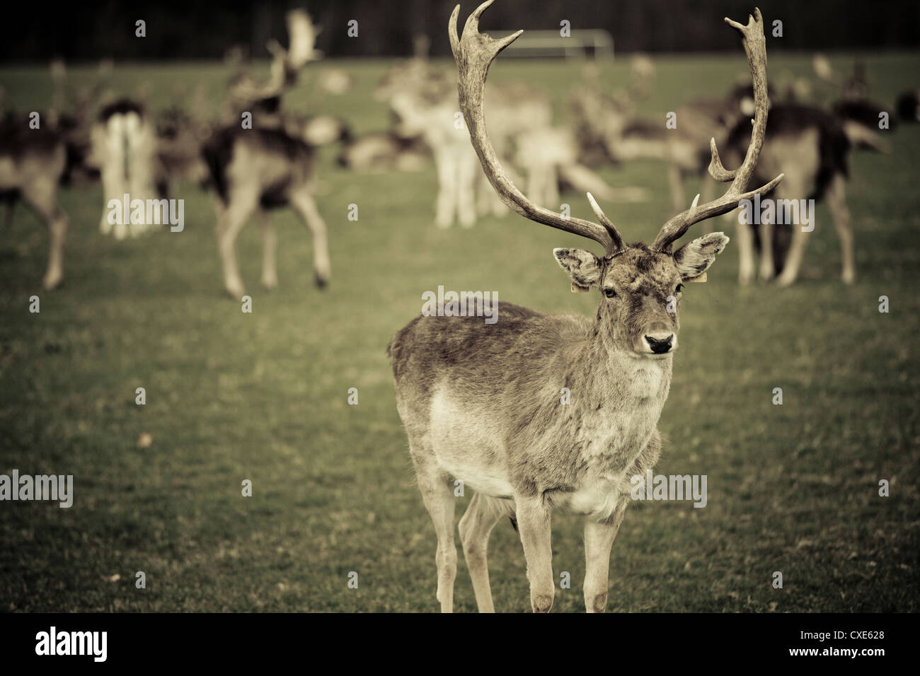 Stag with herd of deer in Phoenix Park, Dublin, Republic of Ireland, Europe - Stock Image