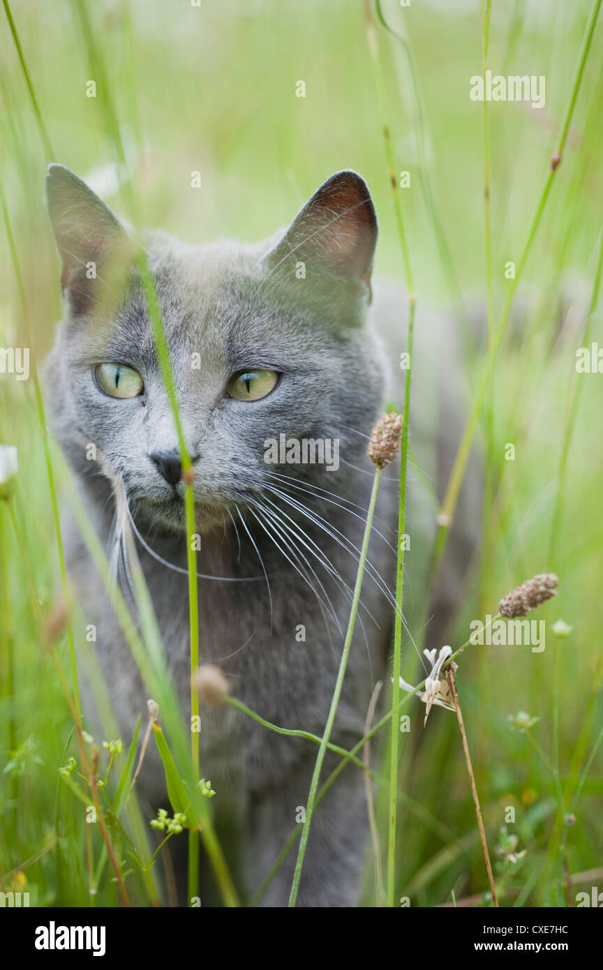 Russian blue cat in grass - Stock Image