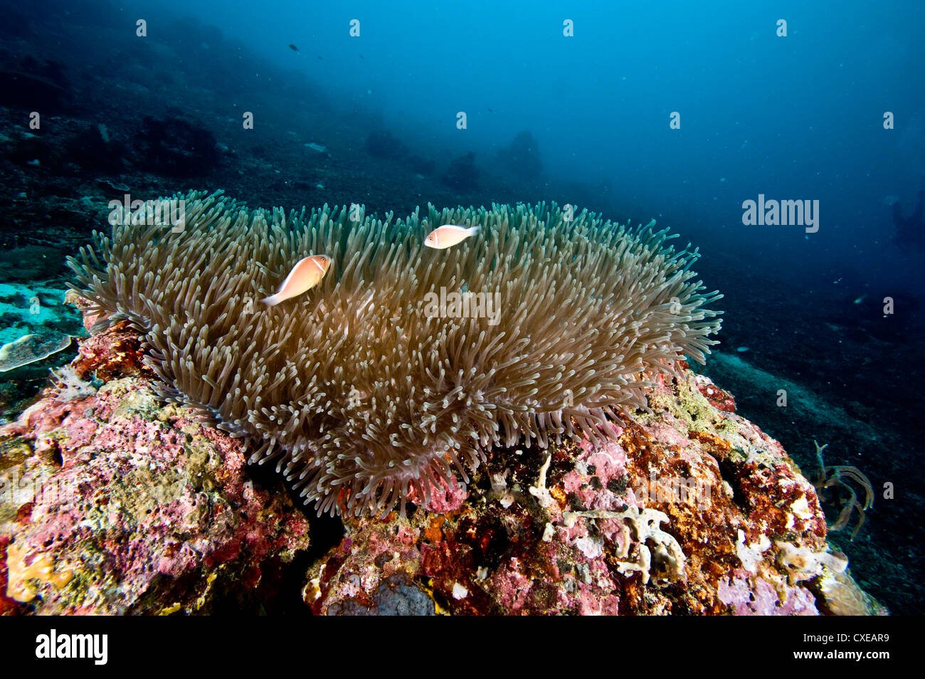 Anemone reef scene at Nalusuan Marine Sanctuary, Cebu, Philippines, Southeast Asia, Asia - Stock Image