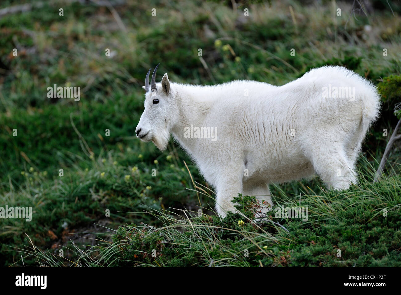 A mountain goat standing in green vegetation. - Stock Image