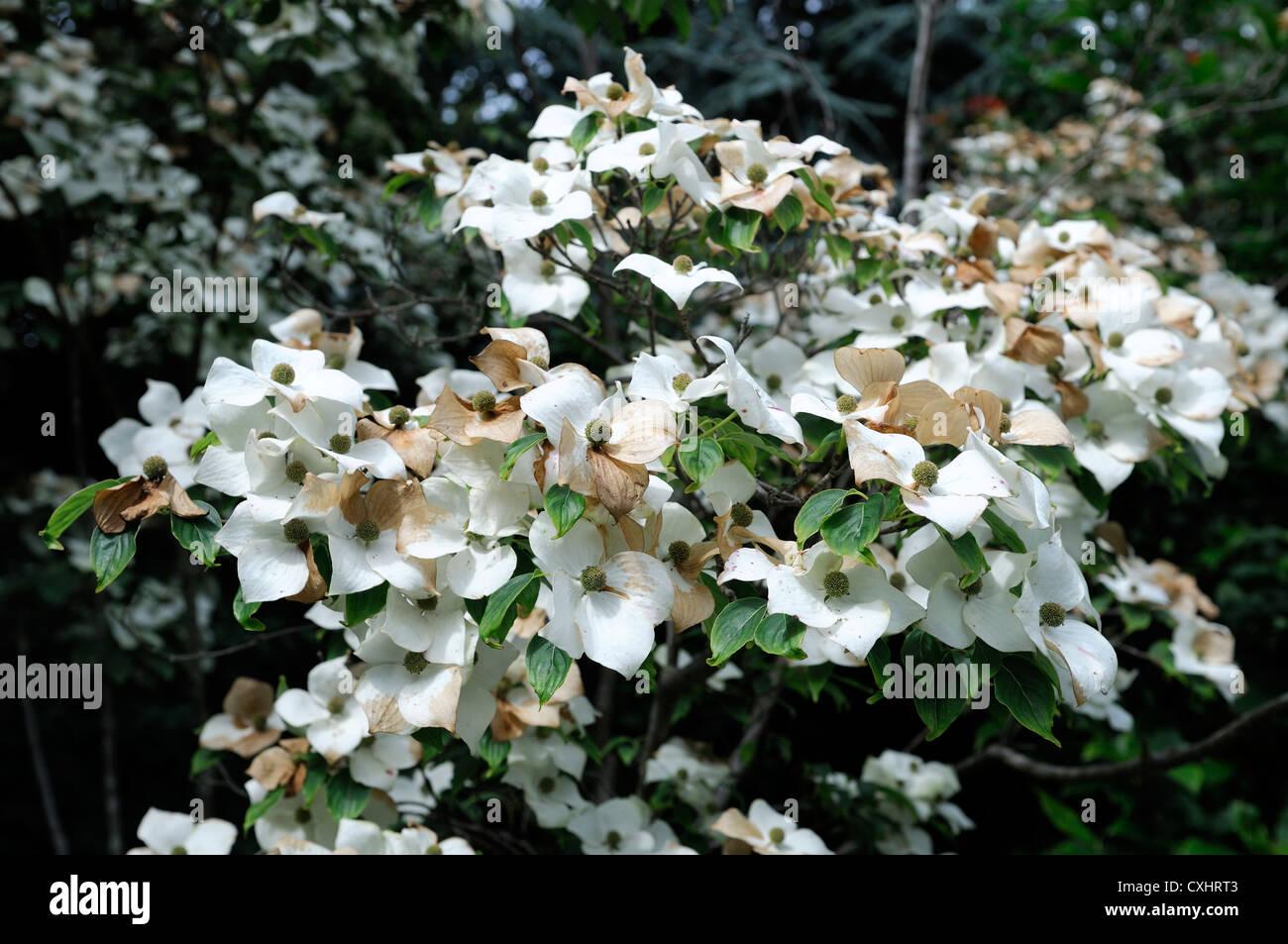 White Flowering Summer Trees Stock Photos White Flowering Summer