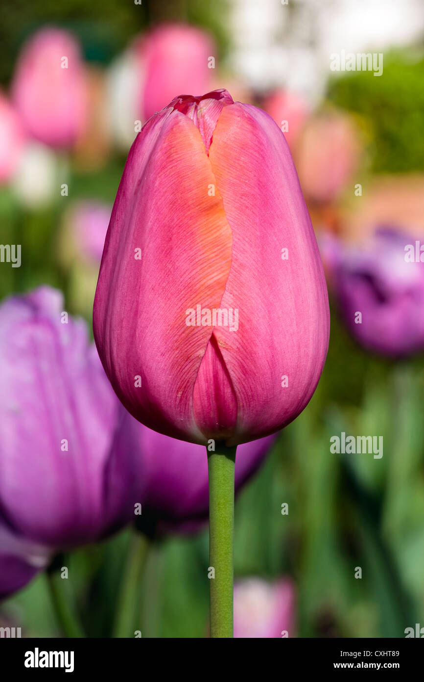 Tulip - A Sign of Spring! - Stock Image