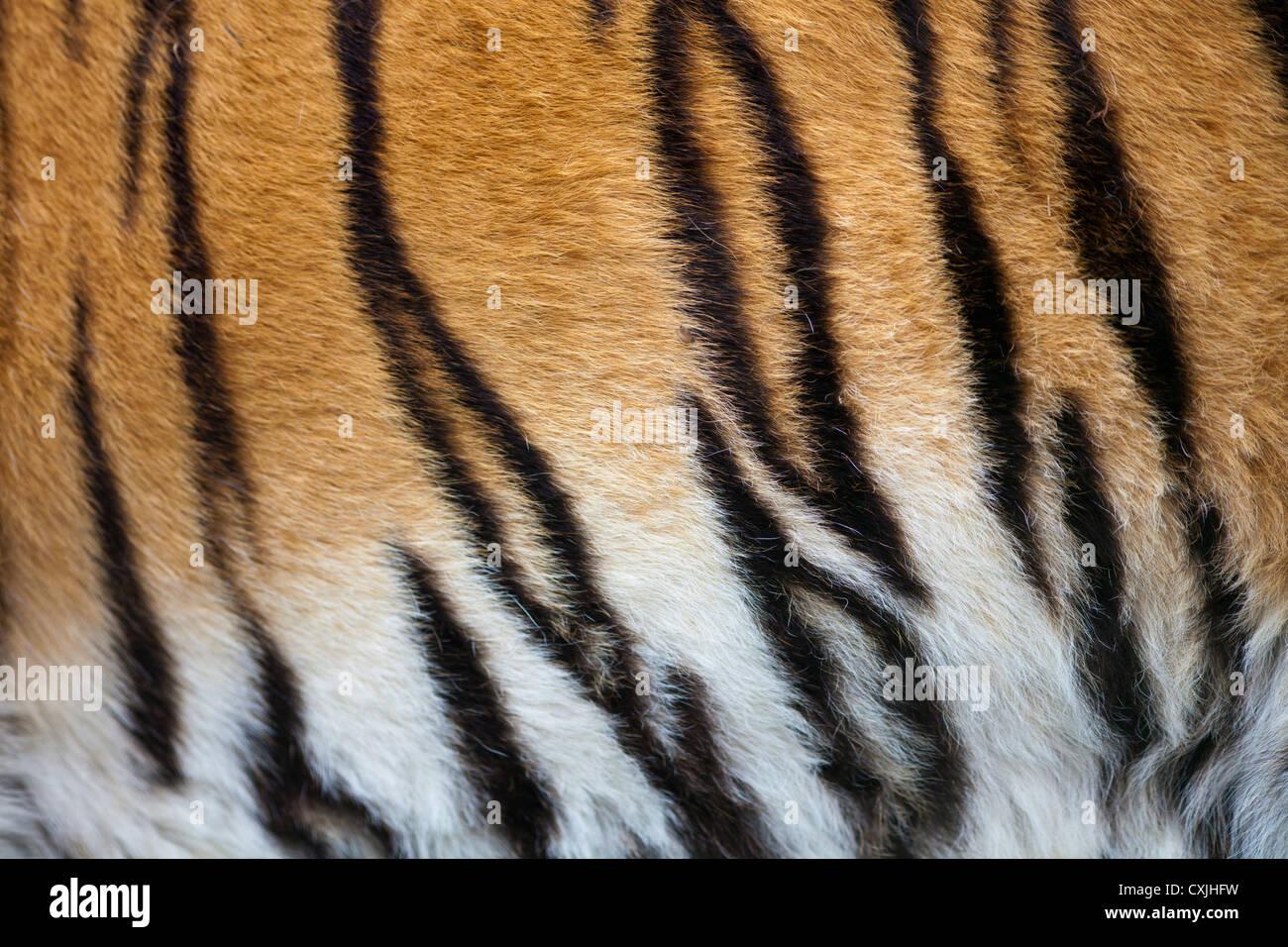 Tiger (Panthera tigris) coat - Stock Image