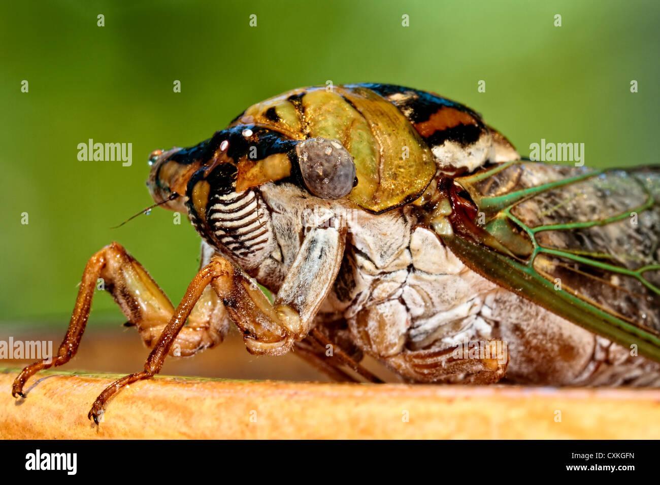 Close up of a Cicada - Stock Image