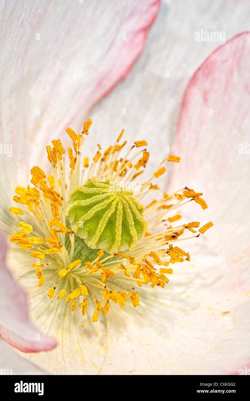 White Icelandic Poppy Flower - Stock Image