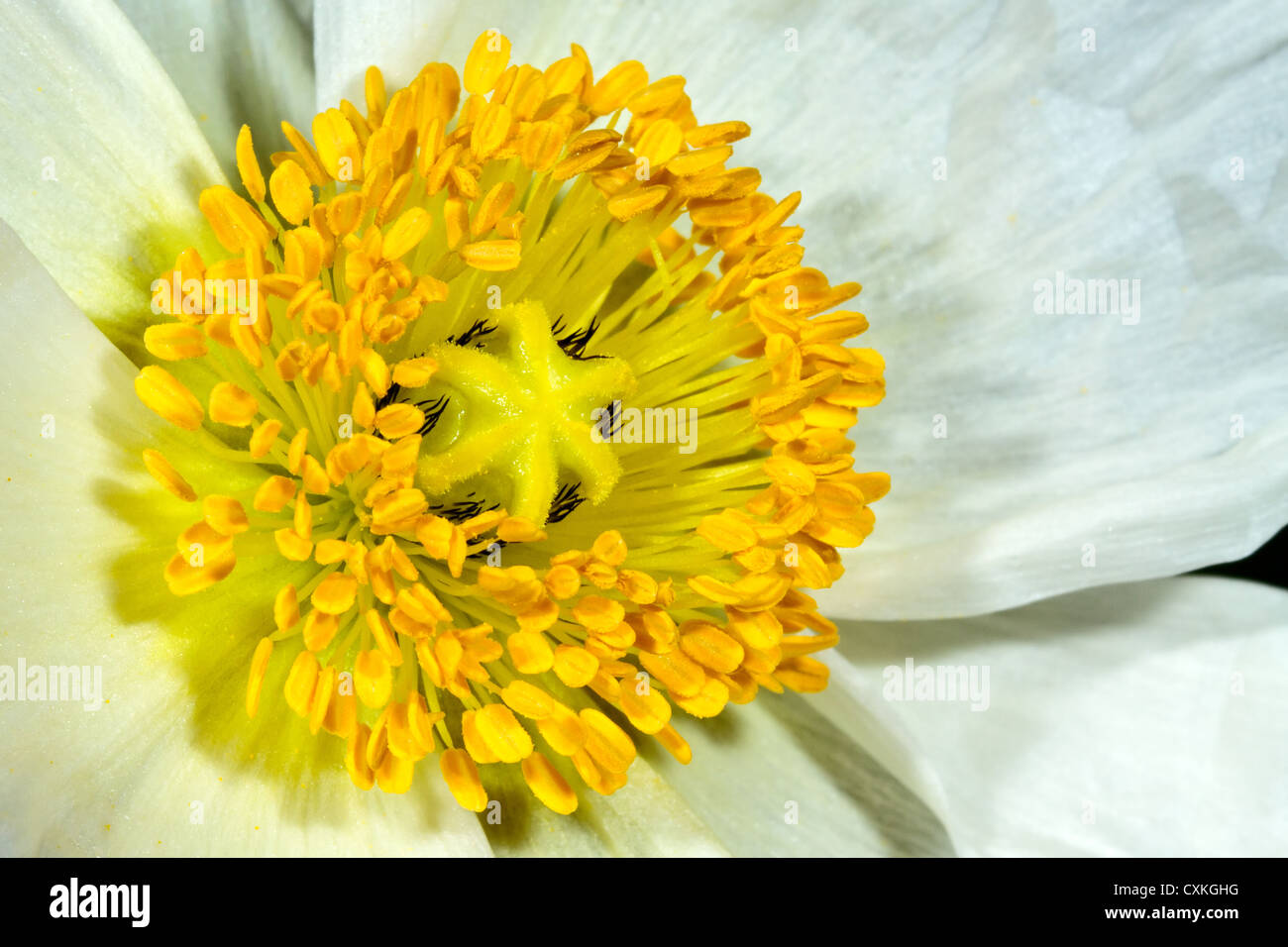 White Poppy - Stock Image