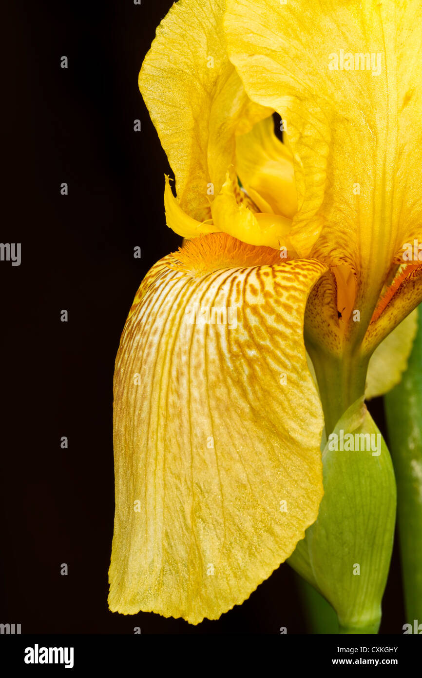 Yellow Iris - Stock Image
