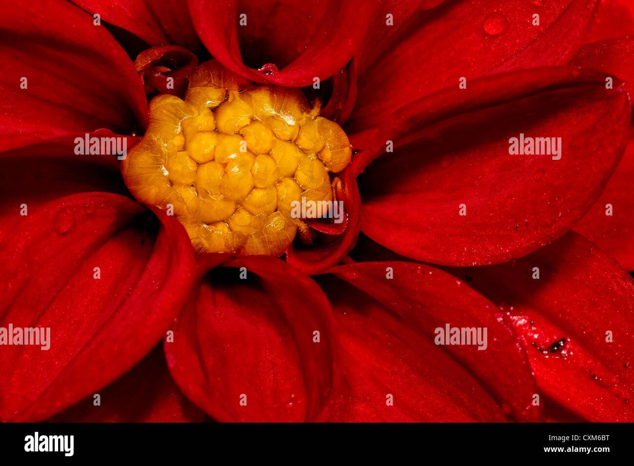 Close-up of a Red Dahlia - Stock Image