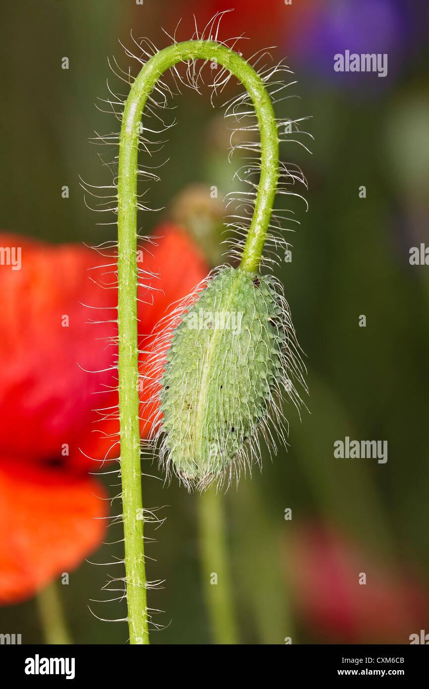 Icelandic Poppy Flower Buds - just starting to open - Stock Image
