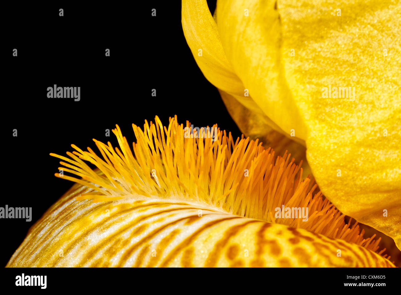 The Beard of a Yellow Iris - Stock Image