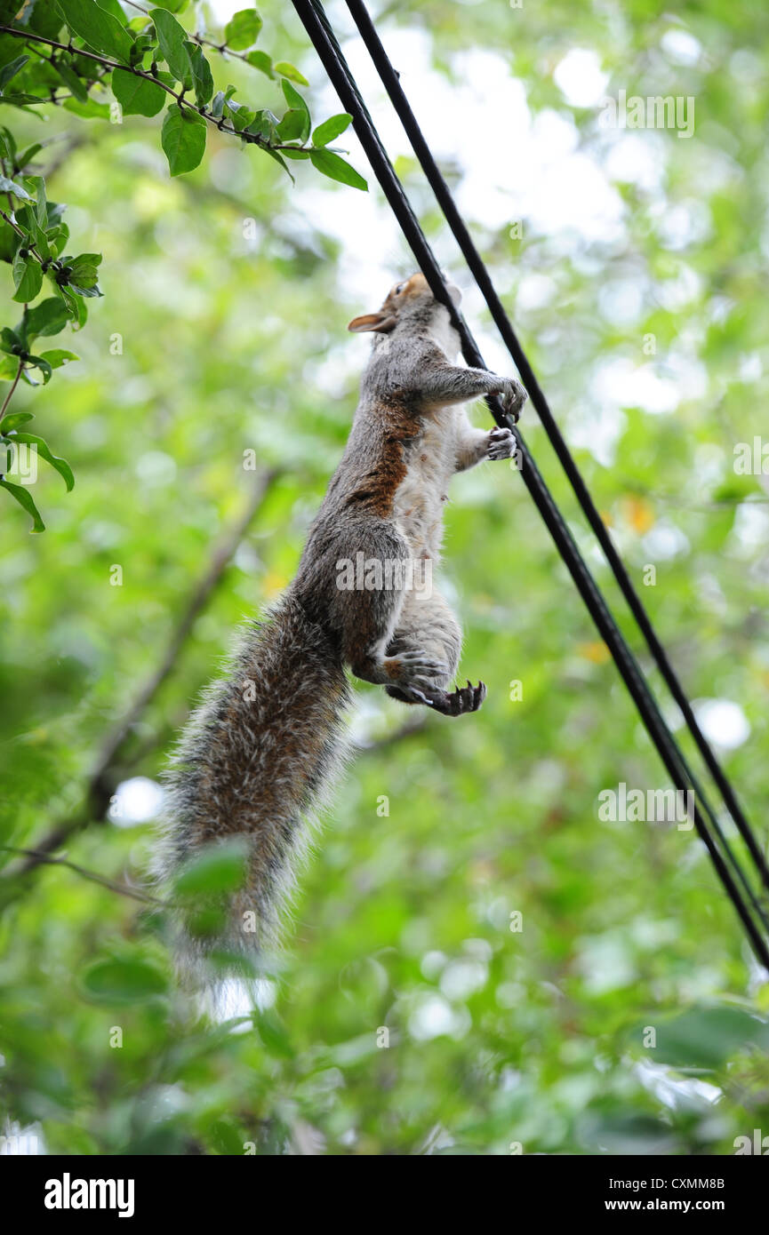 American Grey gray squirrel electrocuted by power lines to a house Stock Photo