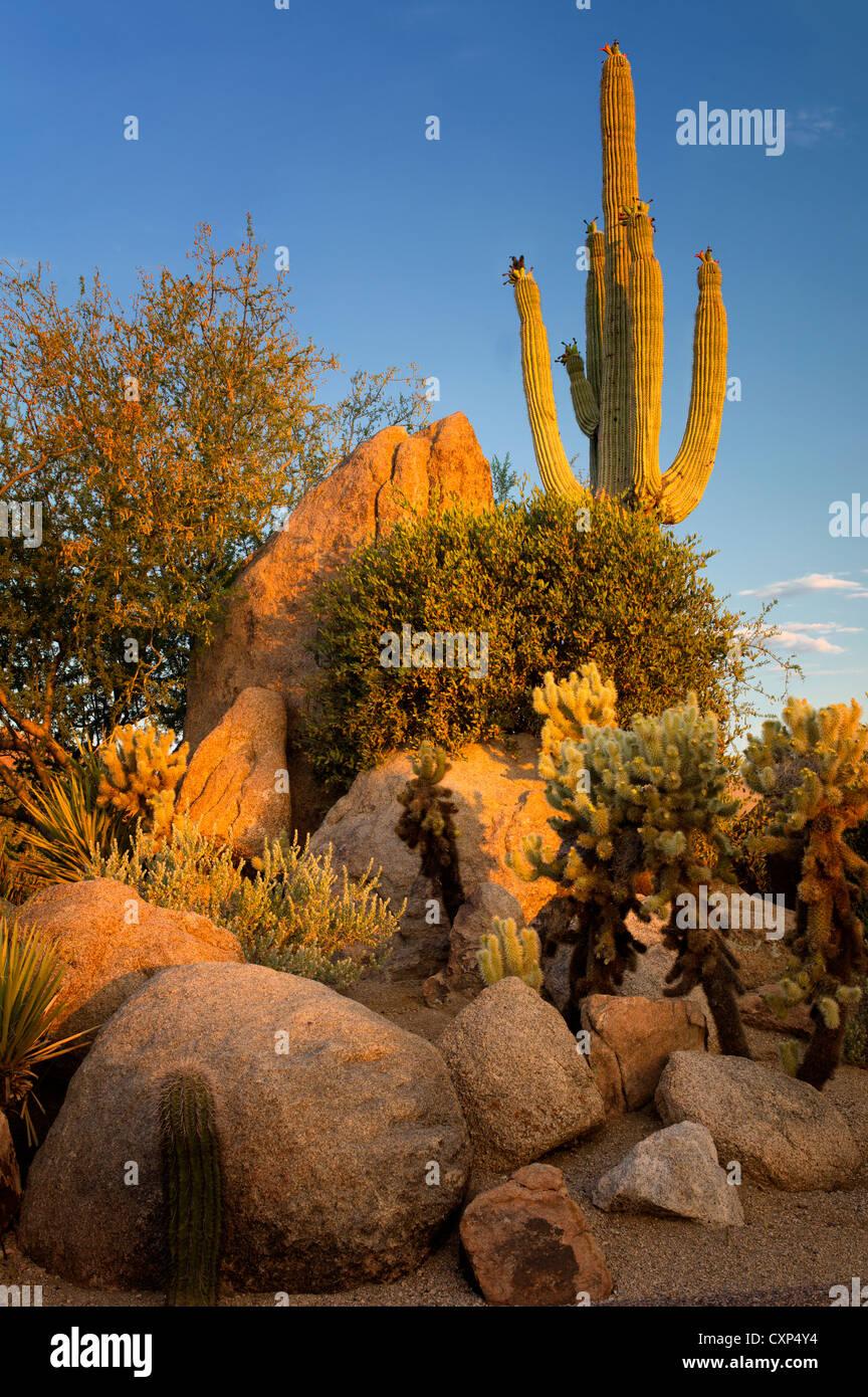 Cactus garden. Sonoran Desert. Arizona - Stock Image