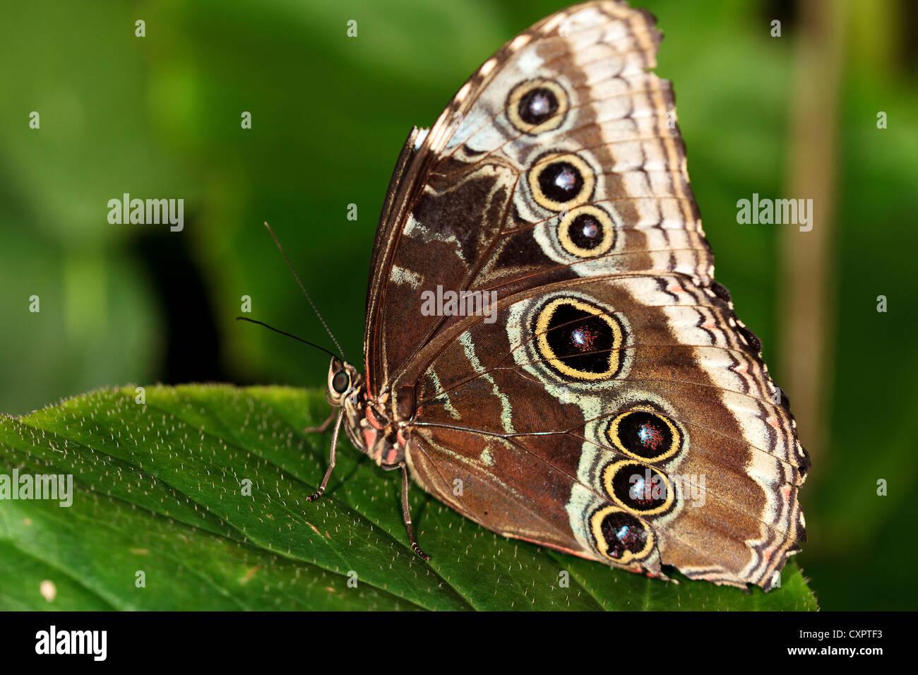 Blue Morpho Butterfly - Stock Image