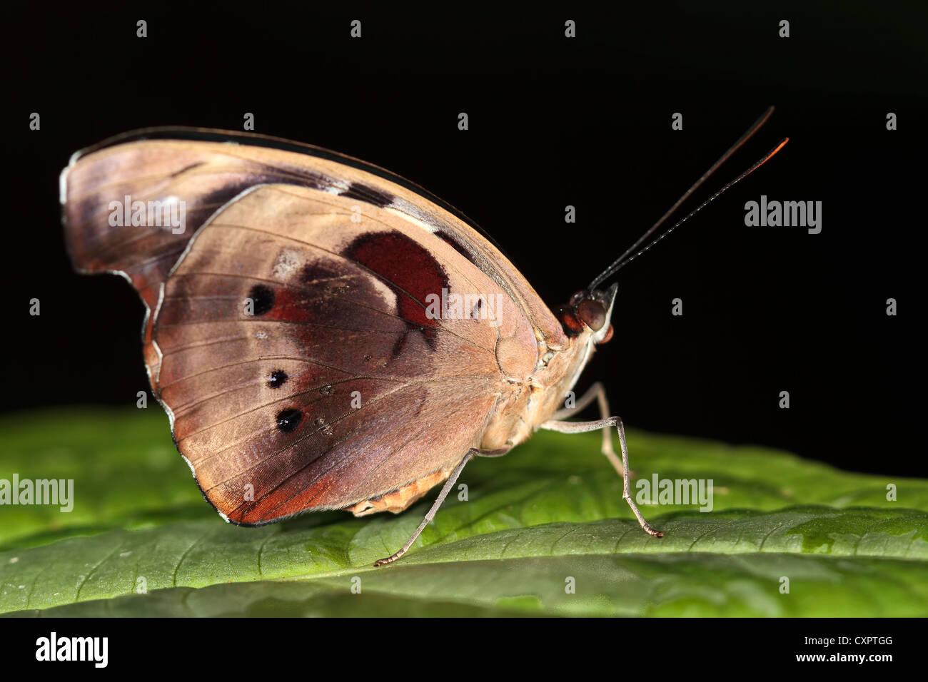 Grecian Shoemaker Butterfly - Stock Image