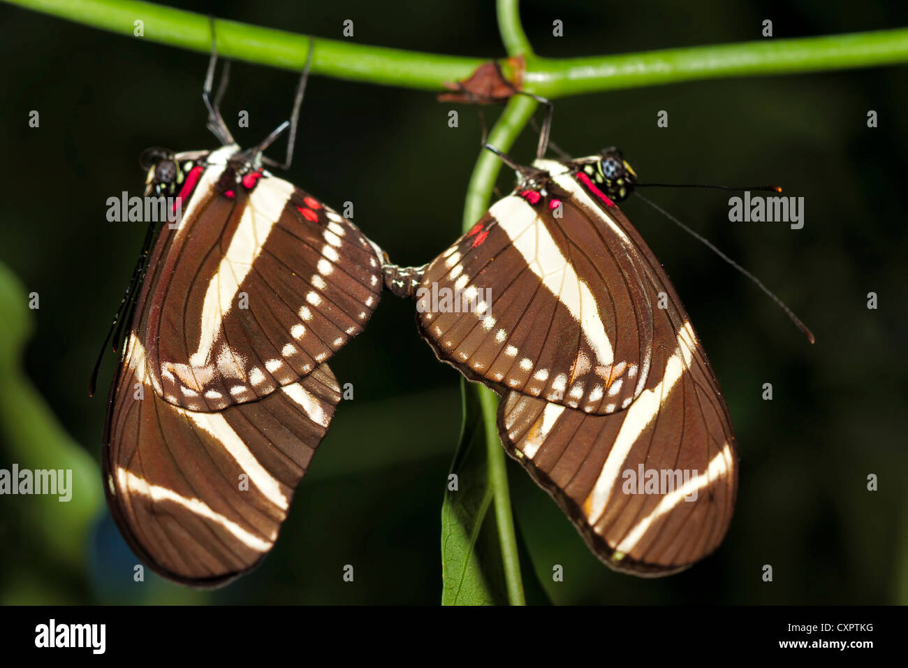 Zebra Longwing Butterfly - mating - Stock Image