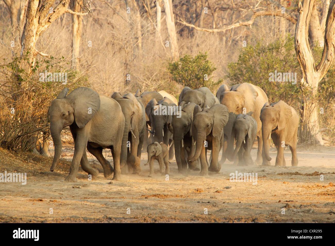 Herd of African Elephants on the move, Mana Pools, Zimbabwe - Stock Image