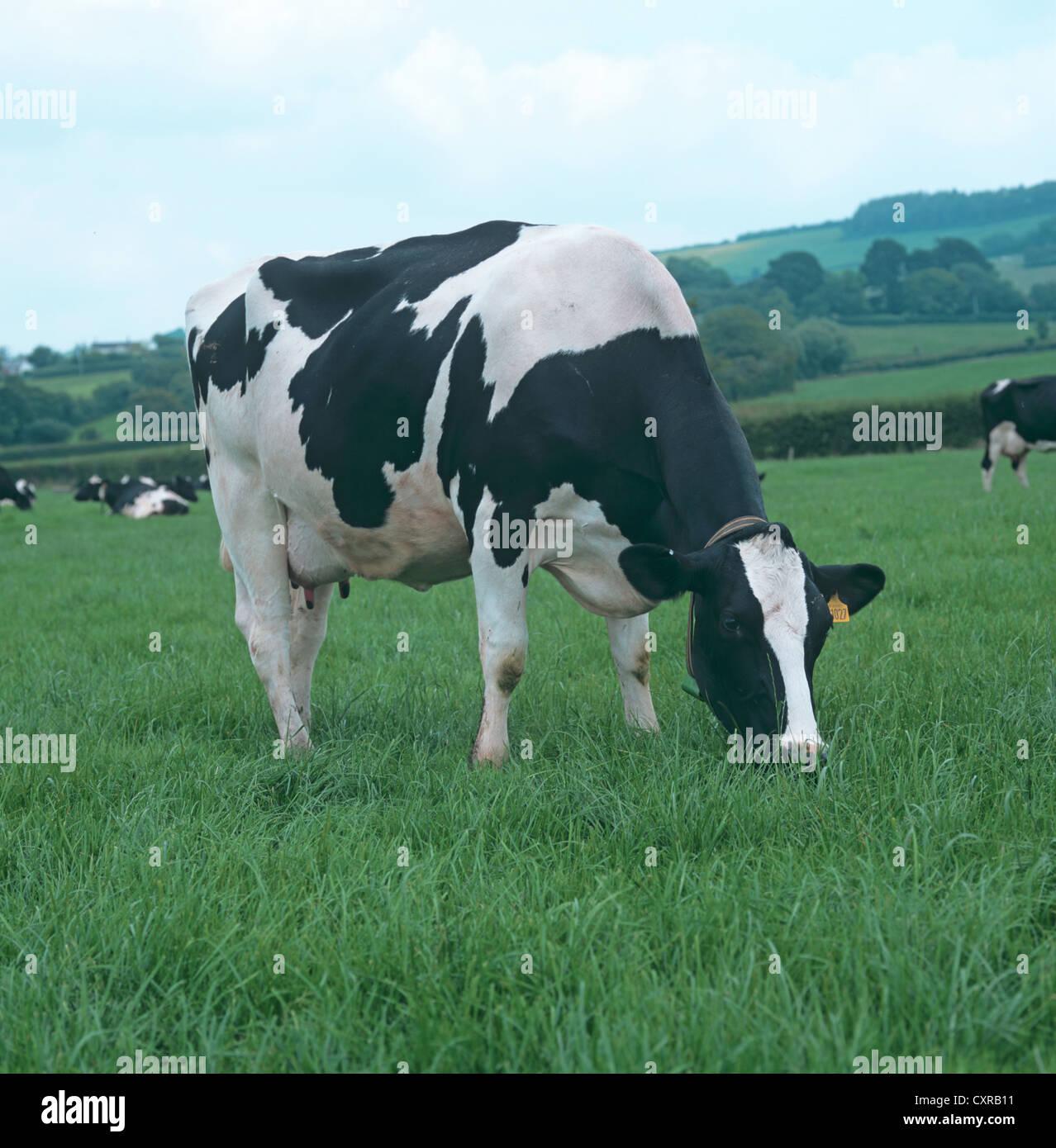 Holstein Friesian dairy cow in milk on grass pasture, Devon - Stock Image