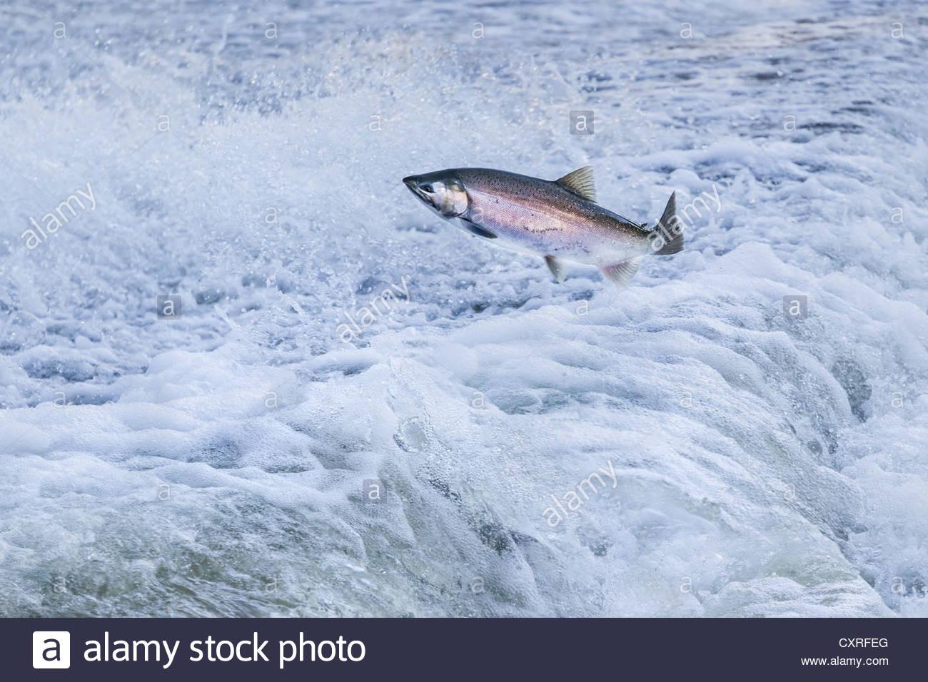 lake-ontario-chinook-salmon-attempting-l