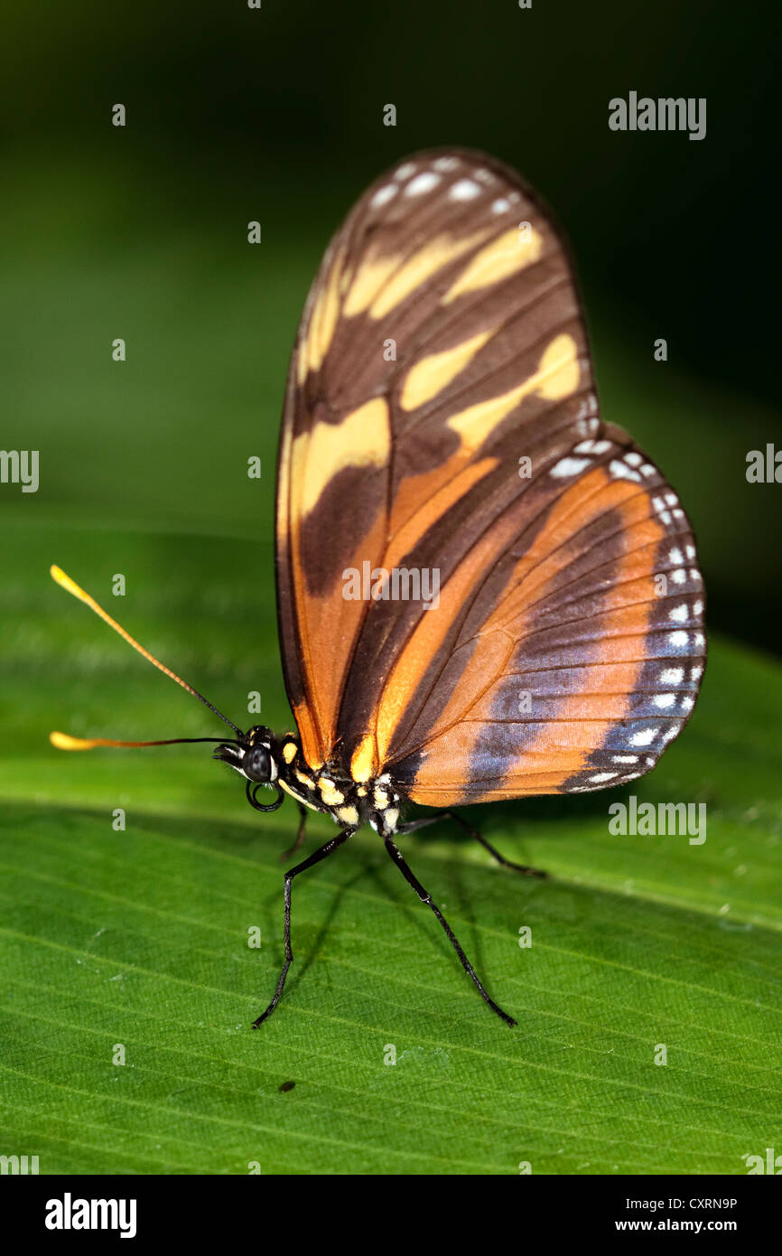 Isabella's Longwing Butterfly or Tiger Mimic-Queen Butterfly - Stock Image