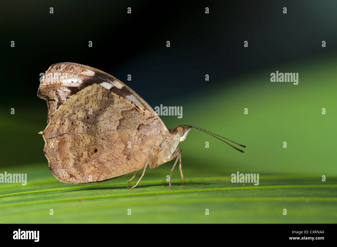 Leafwing Butterfly - Stock Image