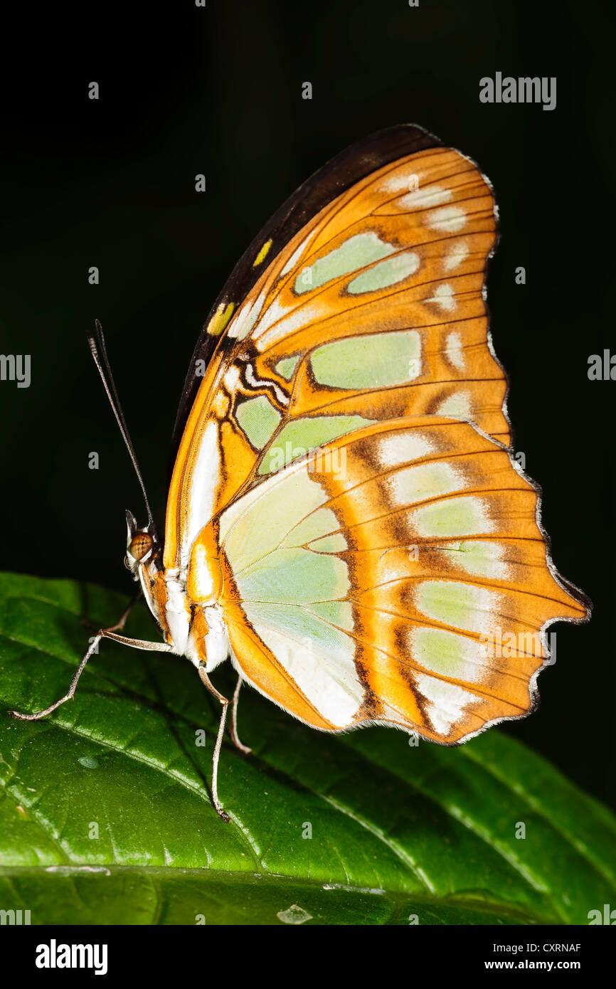 Malachite Butterfly - Stock Image