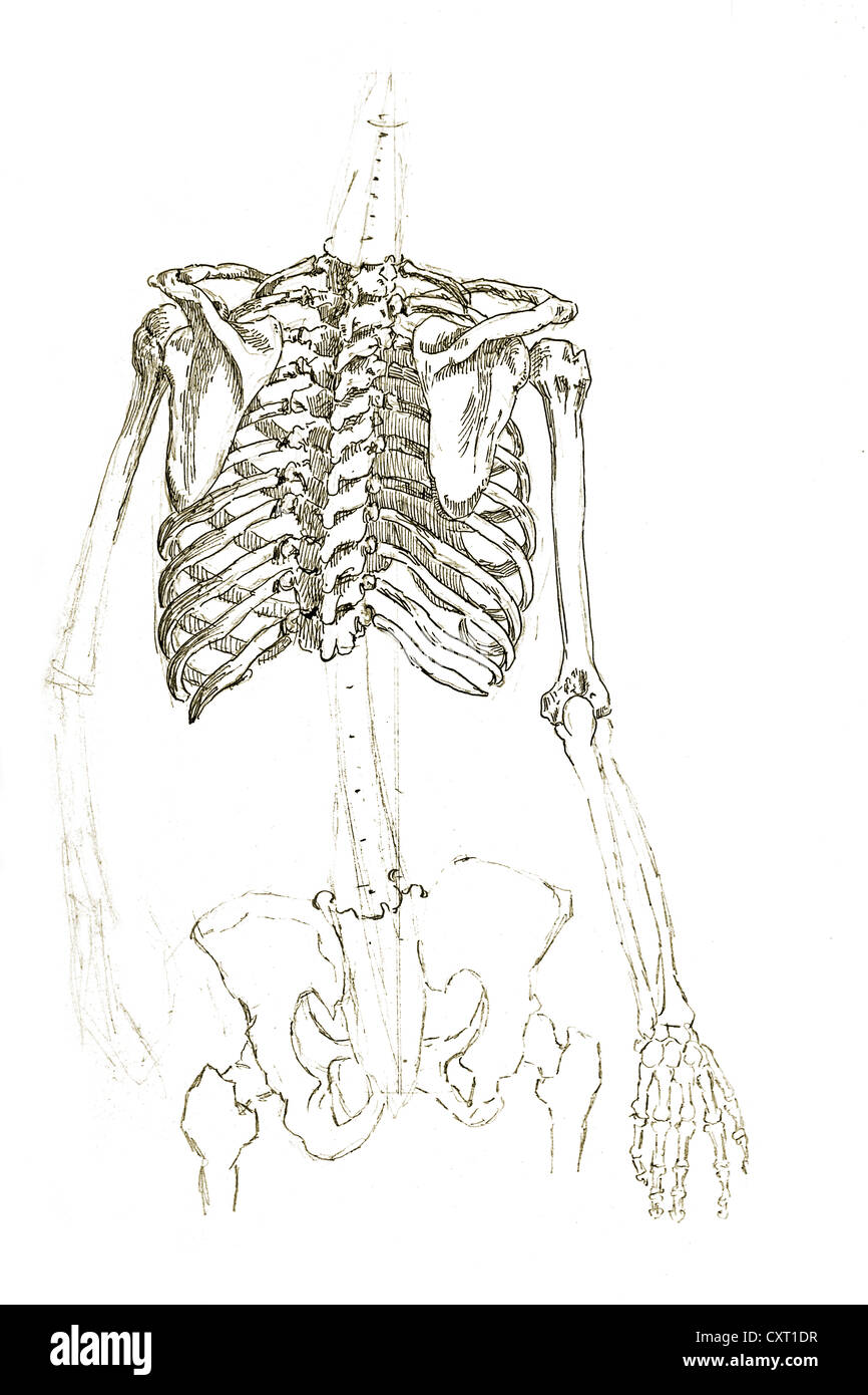 Human Thorax Anatomical Illustration Stock Photo 50929811 Alamy
